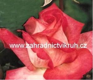 Růže velkokvětá GAUMO - červeno-bílá