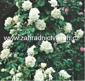 Růže pnoucí SWAN LAKE - bílá