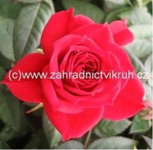 Růže polyantka LUCKY - červená