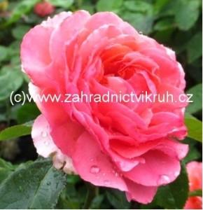 Růže polyantka TOM TOM - růžová