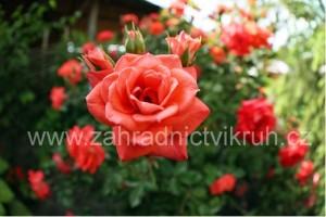 Růže velkokvětá LIDKA - svítivě červená