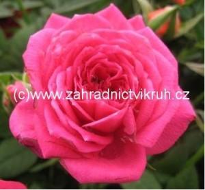 Růže velkokvětá BELANGE - tmavě růžová