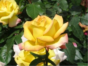 Růže GOLDEN MEDAL - velkokvětá, žlutá