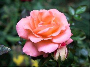Růže AQUARIUS - velkokvětá, růžověoranžová