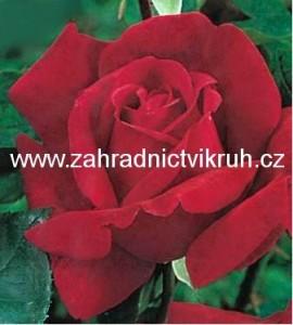 Růže velkokvětá QUEEN OF BERMUDA - vínově červená