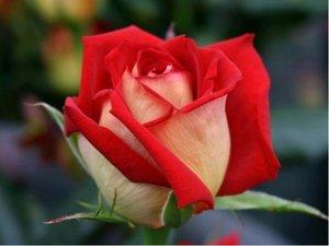 Růže velkokvětá KRONENBOURG -  červenožlutá