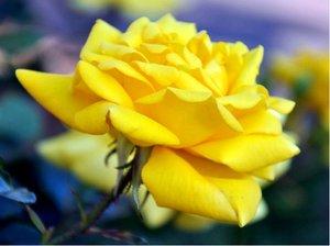 Růže GOLDFINGER - pnoucí, žlutá