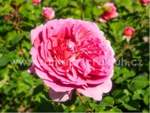 Růže polyantka KIMONO - růžová
