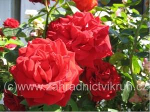 Růže mnohokvětá LILLI MARLEEN tm. červená