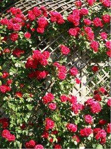 Růže pnoucí PAUL SCARLET růžovočervená