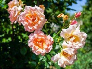 Růže ALCHYMIST - pnoucí, oranžovorůžová