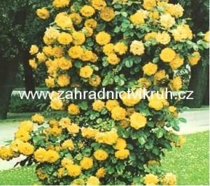 Růže pnoucí GOLDEN SHOWERS - žlutá