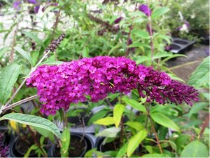 Buddleja ROYAL RED - purpurová
