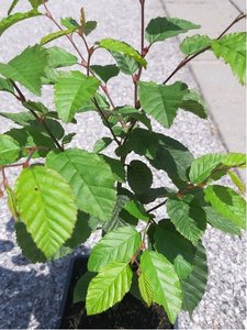 Habr obecný - Carpinus betulus