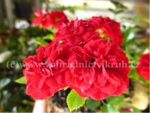 Růže půdopokryvná ROTE THE FAIRY -  červená