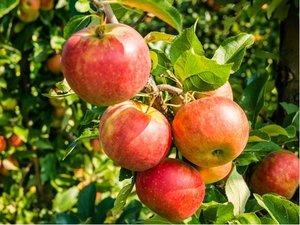 Sloupovitá jabloň CHARLOTTE v kontejneru