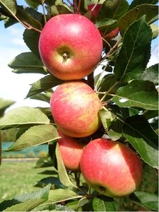 Sloupovitá jabloň FLAMENCO v kontejneru