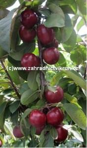 Sloupovitá jabloň MAYPOLE v kontejneru