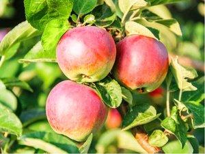 Sloupovitá jabloň POLKA v kontejneru