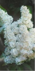 Šeřík stromkový, roubovaný - bílý v kontejneru