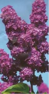 Šeřík stromkový, roubovaný - fialový v kontejneru