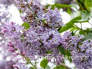 Šeřík stromkový, roubovaný - fialovo bílý