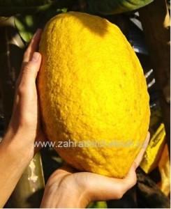 Obří citroník Citrus medica Grande