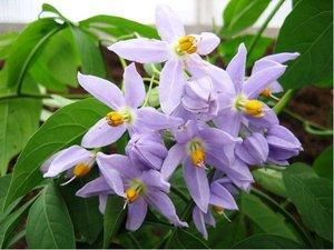 Lilek p�evisl� - fialov�