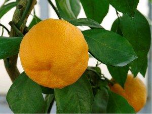 Mandarinka KAWANO - roubovaná