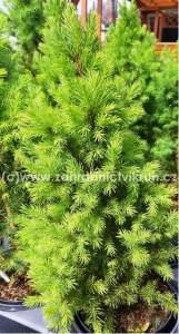 Smrk kuželovitý Conica - Picea glauca  Conica