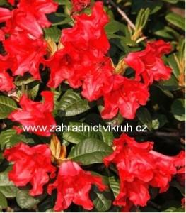 Rhododendron Scarlet Wonder - červený