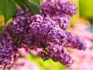 Šeřík keřový Charles Joly - purpurový