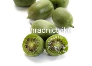 """Kiwi Kolomikta """"Sentyabraskaya"""" - samice"""