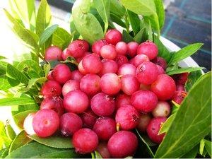 Růžová borůvka  Pink Lemonade