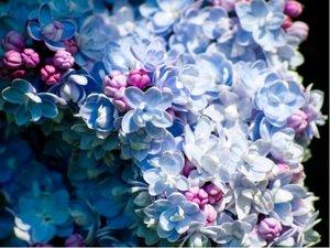 Šeřík keřový President Grevy - světle modrý, plnokvětý
