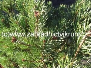 """Borovice lesní """"Beuvronensis"""""""