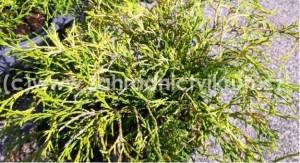 """Cypřiš hrachonosný """"Filifera Aurea"""" - Chamaecyparis pisifera """"Filifera Aurea"""""""