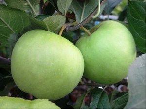 Sloupovitá jabloň GOLDCATS - podnož MM106