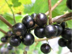 Rybíz TISEL - stromkový, černý