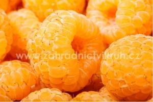 Maliník žlutý ALL GOLD - stáleplodící