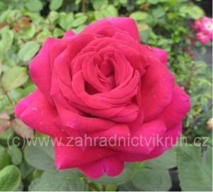 Růže velkokvětá BIG PURPLE - purpurová