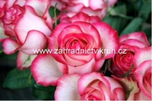 Růže velkokvětá ROSE GAUJARD - růžovobílá