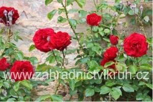 Růže polyantka NINA WEIBULL - sytě červená