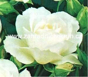 Růže polyantka CHRISTAL - bílá
