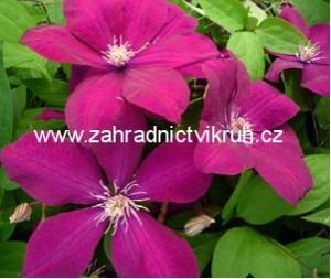 Clematis ROUGE CARDINAL - purpurový