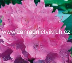Rhododendron Roseum Elegans - lila