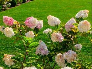 Hortenzie PINKY WINKY - růžovokrémová