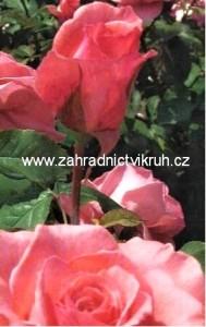 Růže velkokvětá PARISER CHARME - růžová