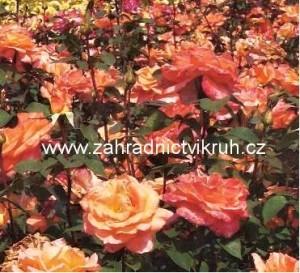 Růže velkokvětá CONSUL - růžovo-žluto-oranžová