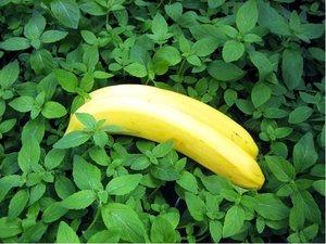 Máta banánová
